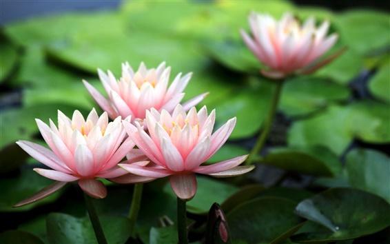 Wallpaper Pink water lilies, flower petals
