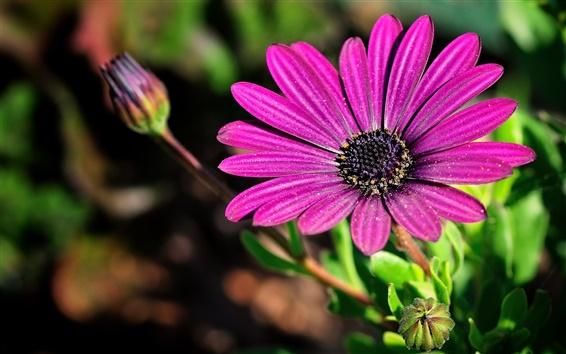Papéis de Parede Camomila flores roxas, close-up