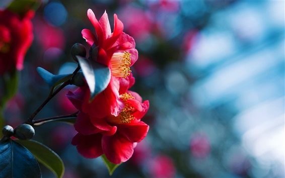 Wallpaper Red flowers blossom, blue blurred background