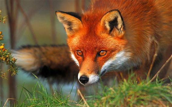 Обои Красная лиса лицо и глаза