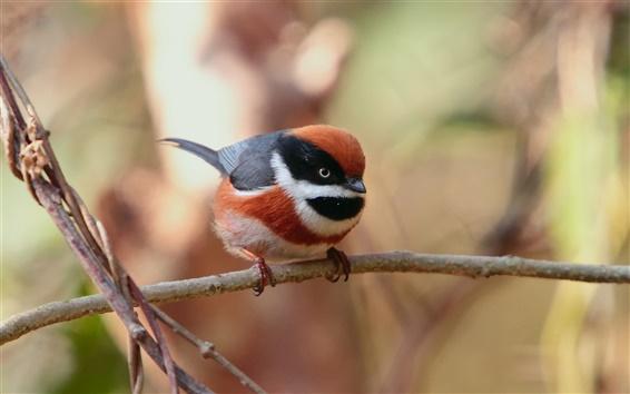 壁紙 赤頭尾シジュウカラ、小さな小鳥