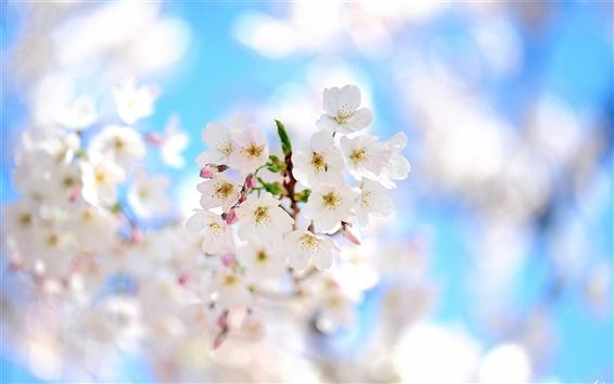 壁紙 春の枝、白い花が咲く