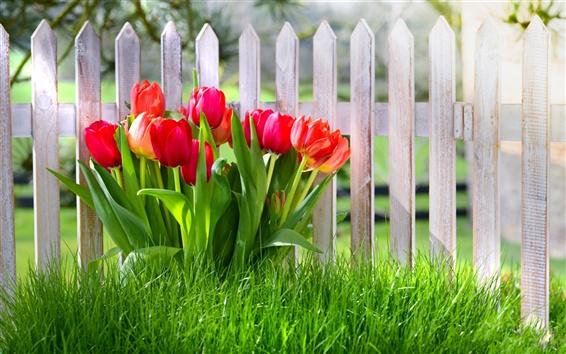 Wallpaper Spring flowers, red tulips, garden, grass