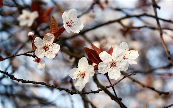 Fondos de pantalla Primavera, ramas, flores blancas, hojas, bokeh