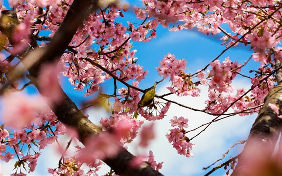 Wallpaper Tokyo Japan, park cherry trees, pink flowers, bird