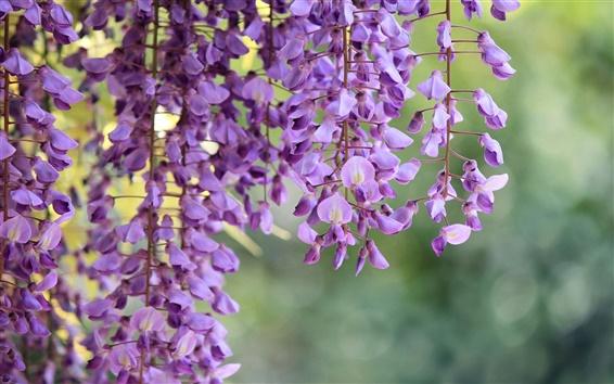 Fondos de pantalla Wisteria, ramas, flores púrpuras fotografía macro