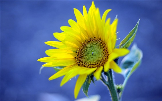 Wallpaper Yellow sunflower, blue background