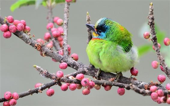 Wallpaper Asian woodpecker, green feather bird, branch, berries