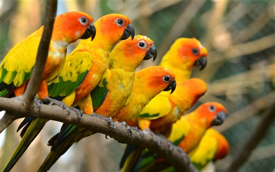 Wallpaper Beautiful birds, yellow parrots