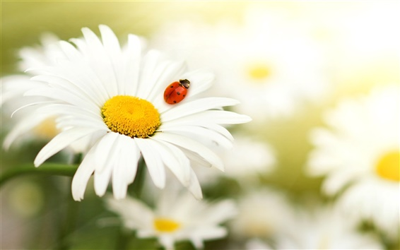 Wallpaper Daisy petals, insect ladybug