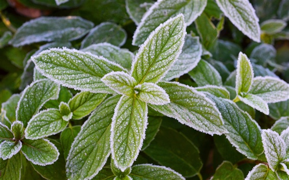 Wallpaper Frost green mint leaves