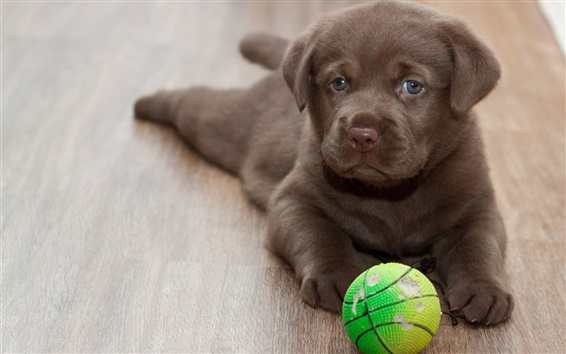 Wallpaper Labrador puppy, play with ball