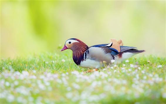 Wallpaper Mandarin duck in the grass, blur background