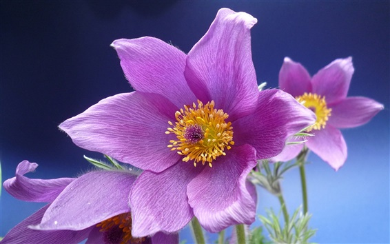 Wallpaper Purple anemone flowers macro