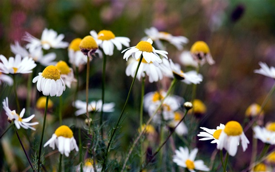 Wallpaper Summer daisies white flowers