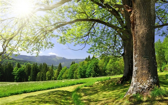 Fondos de pantalla Árboles forestales de verano, hierba, verde, resplandor del sol
