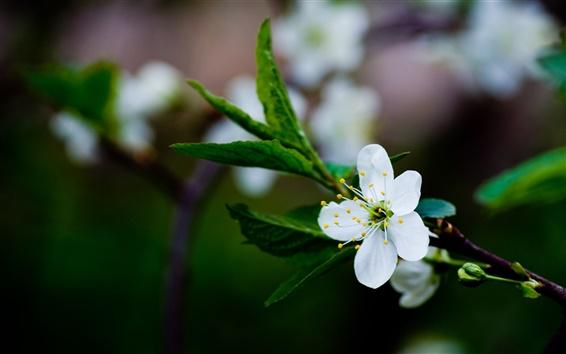 Papéis de Parede Branco flores de cerejeira, flores da primavera, folhas verdes