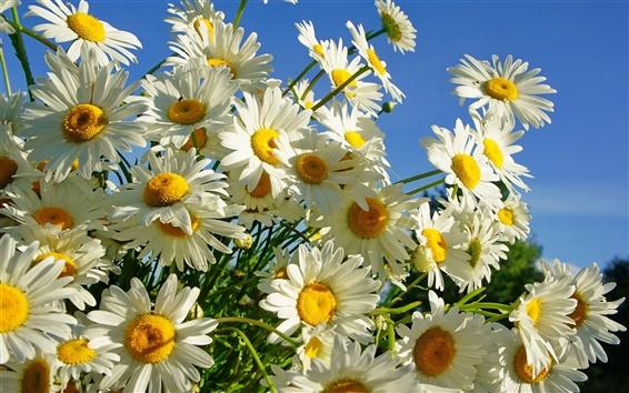 Wallpaper White petals daisies, summer sun