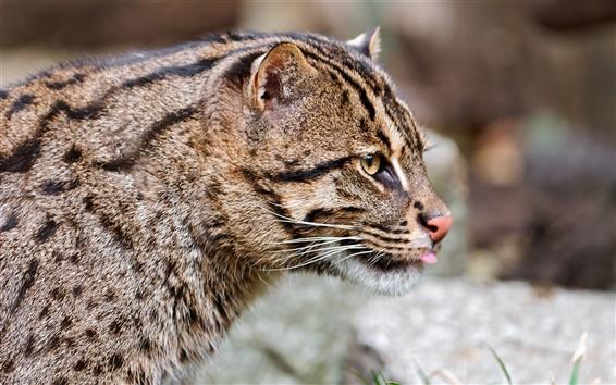 Wallpaper Wild cat close-up