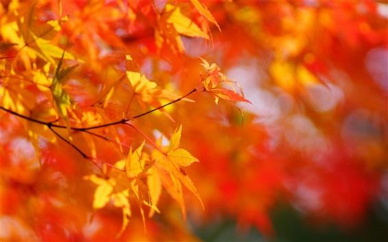 Обои Осенью, клен, красные листья, размытым фоном