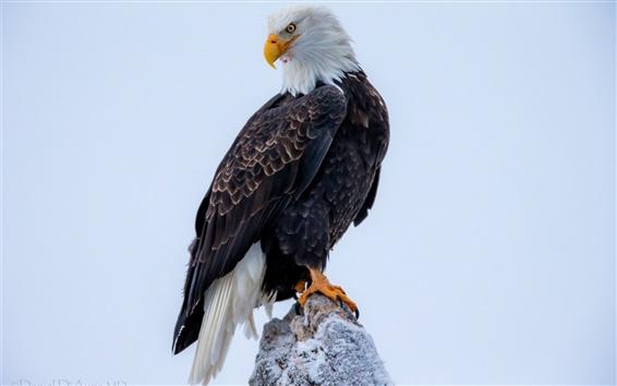 Wallpaper Bald eagle close-up