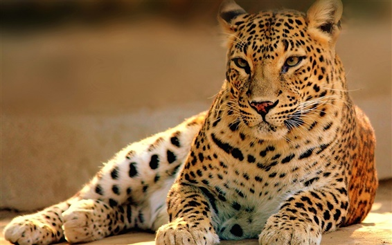 Wallpaper Big cat, predator, leopard