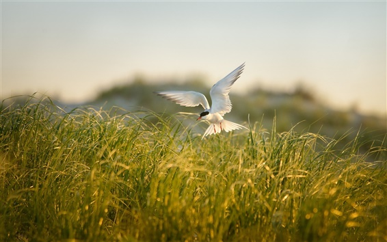 Wallpaper Bird flying, grass, summer