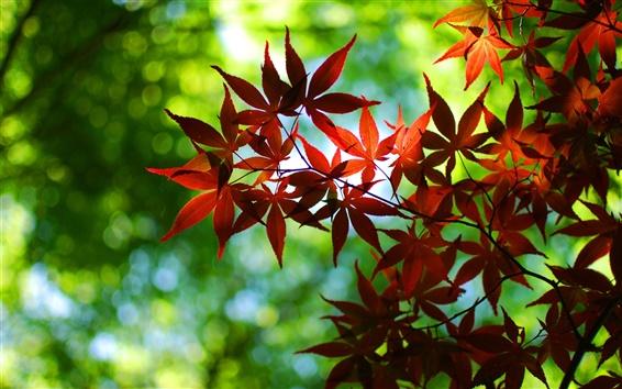 Wallpaper Bokeh, green, autumn, red maple leaves