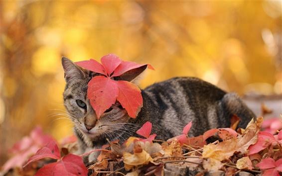 Wallpaper Cat, autumn, leaves