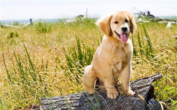 Wallpaper Dog, summer, grass