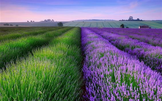 Обои Полях Англии летом лаванды, дом, сумерки