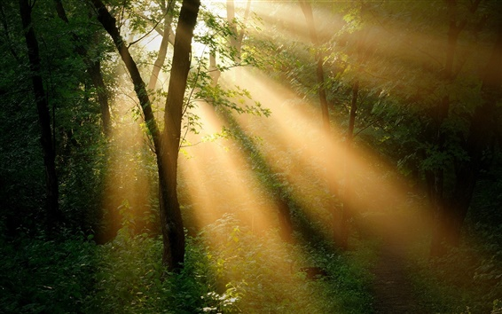 Wallpaper Forest trees, sun rays, nature landscape