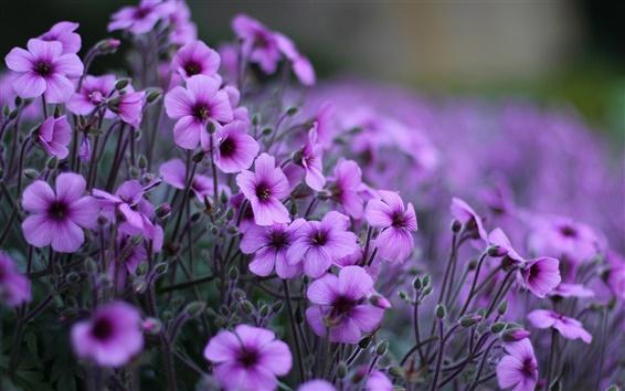 Papéis de Parede Gerânio flores roxas