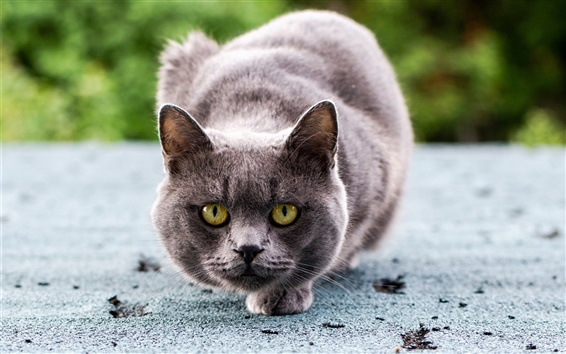Wallpaper Gray cat ready to attack