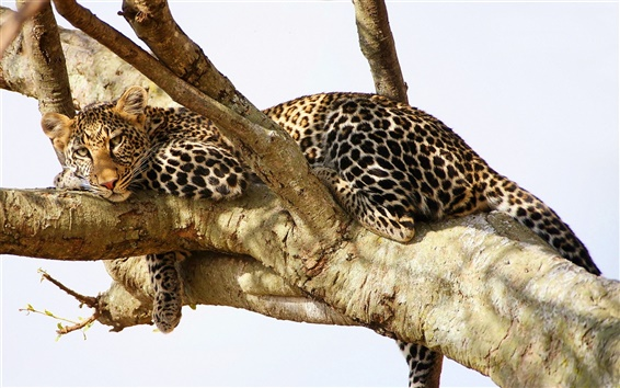 Wallpaper Leopard have a rest in the tree