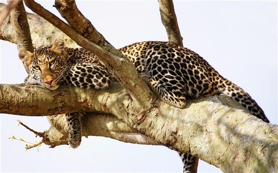 Fond d'écran léopard se reposer dans l'arbre
