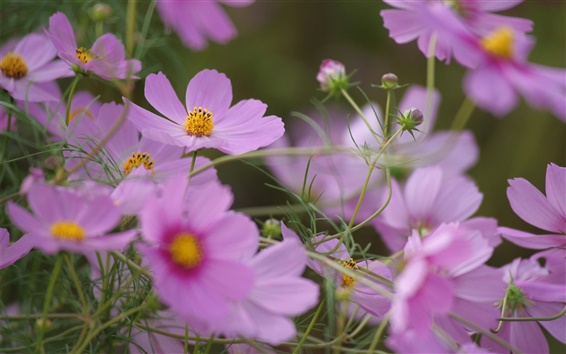 Fondos de pantalla Flores de color rosa, verano