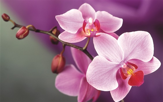 Wallpaper Pink orchid flowers