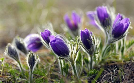 Wallpaper Purple flower buds macro