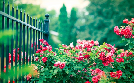 Wallpaper Red rose flowers, iron fence