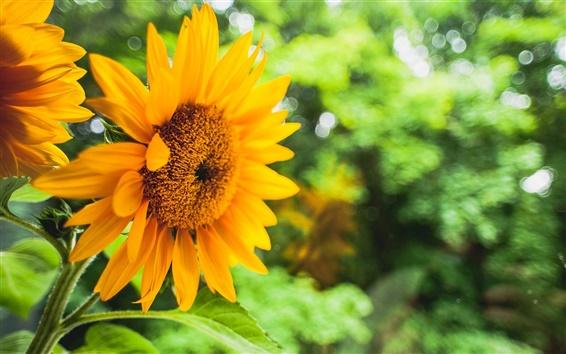 Обои Подсолнечника, желтые цветы, зеленый размытый фон