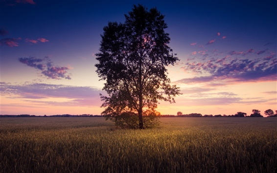 Wallpaper Sunset scenery, lonely tree, wheat field