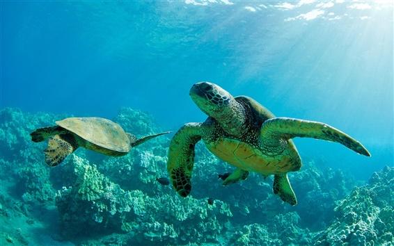Fond d'écran Deux tortues vertes de mer, sous marin, récif coralien, Maui