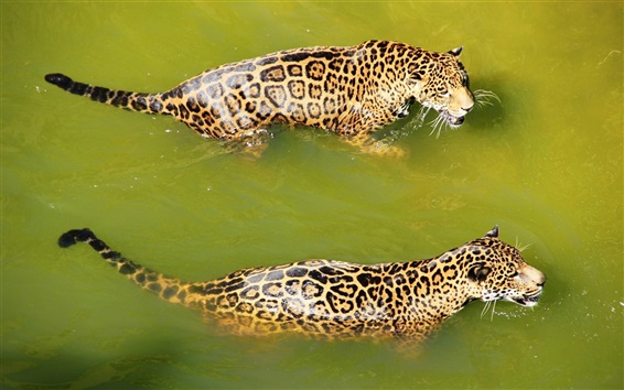 Wallpaper Two jaguar swimming in water