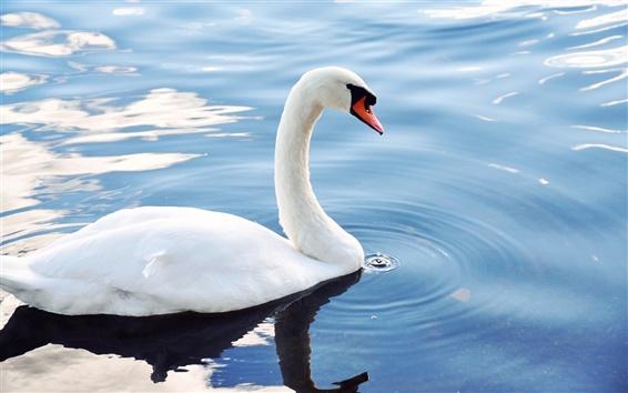 Обои Белый лебедь в пруду