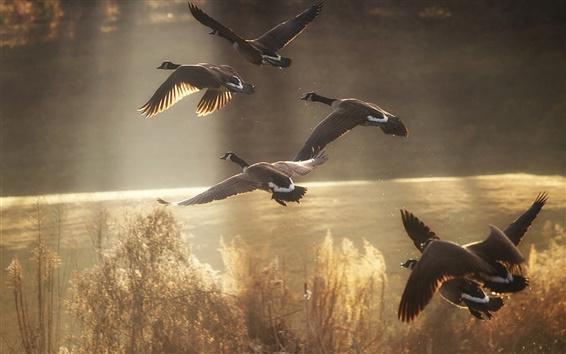 배경 화면 야생 오리가 하늘을 날아