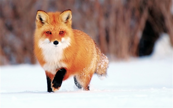 Обои Зимний снег, маленькая лиса