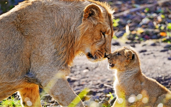Wallpaper Animal photography, mother lion and cub