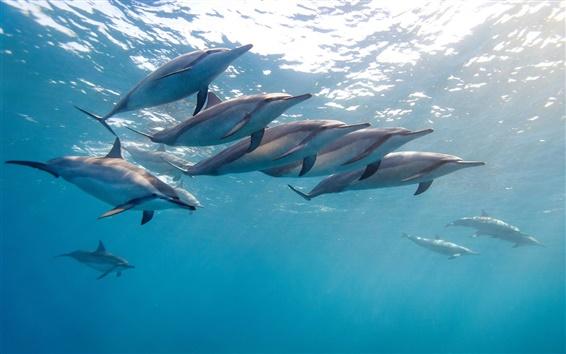 배경 화면 클로즈업 동물, 긴 코 돌고래, 하와이, 바다, 파랑
