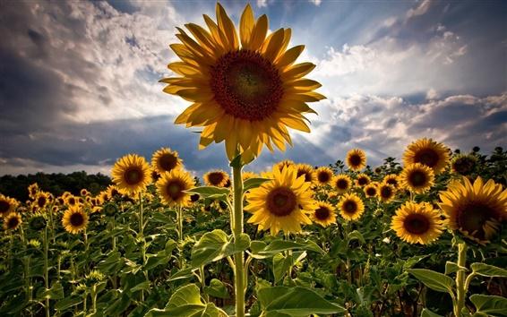 Wallpaper Backlit sunflower